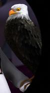 Bald-eagle-madagascar-3