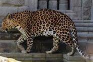 Panthera-pardus-pardus3