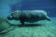 Hippopotamus, Common.jpg