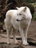 Canis-lupus2