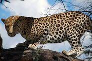 Panthera-pardus-melanotica2