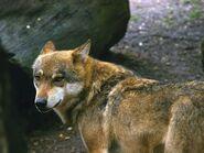 Canis-lupus-lupus1