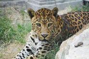Panthera-pardus-pardus2
