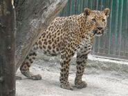 Panthera-pardus1