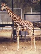 Giraffa-camelopardalis-camelopardalis