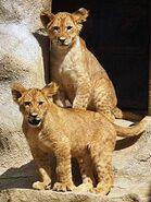 Panthera-leo-leo6