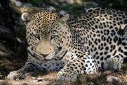 Panthera-pardus-pardus1
