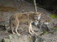 Canis-lupus-chanco4
