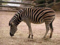 Equus-quagga-burchellii5