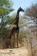 Giraffa-camelopardalis2