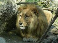Panthera-leo-vernayi7