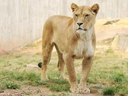 Panthera-leo-leo2
