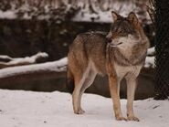 Canis-lupus-lupus4
