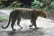 Panthera-pardus-orientalis2