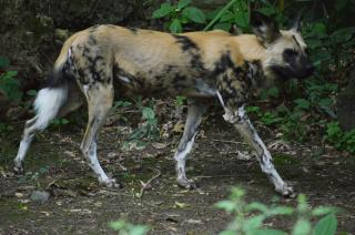 East African Wild Dog
