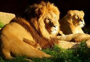 Panthera-leo-leo1