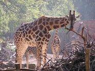 Giraffa-camelopardalis-rothschildi6