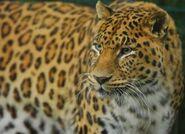 Panthera-pardus6