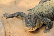Alligator-mississippiensis1
