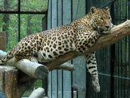 Panthera-pardus-ciscaucasica