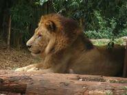 Panthera-leo-massaica