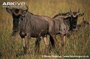 Wildebeest, Blue (1)