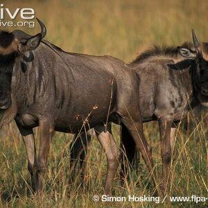 Wildebeest, Blue (1).jpg
