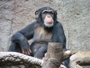Common Chimpanzee.jpg