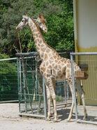 Giraffa-camelopardalis-angolensis6