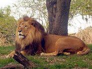 Panthera-leo-krugeri4