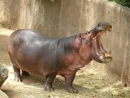 Hippopotamus-amphibius1