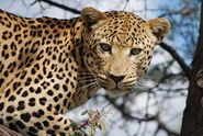 Panthera-pardus-melanotica1