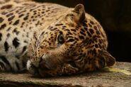 Panthera-pardus-pardus5