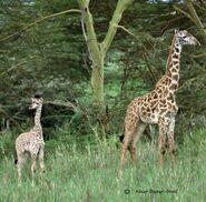 Giraffa-camelopardalis-tippelskirchi2