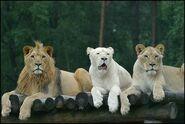 Panthera-leo-krugeri6