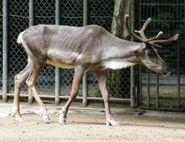 Rangifer-tarandus-caribou1
