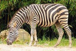 Equus-quagga-chapmani2