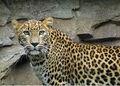 Panthera-pardus-kotiya2