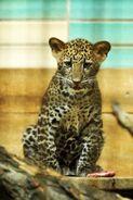 Panthera-pardus-melas4
