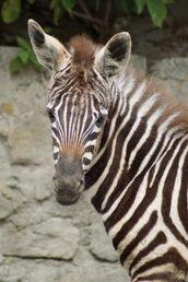 Equus-quagga-borensis3