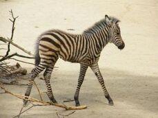 Equus-quagga-boehmi3