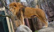 Male African Lion.jpg