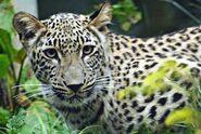 Panthera-pardus-saxicolor6