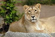 Panthera-leo-persica5