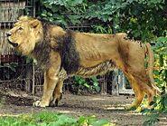 Panthera-leo-persica6