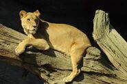 Panthera-leo4