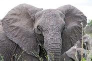 Angry elephant ears