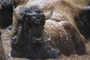 Bison-bison-bison3