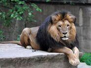 Panthera-leo-krugeri3