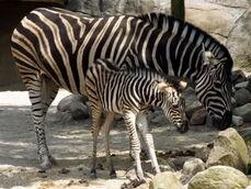 Equus-quagga-chapmani1